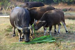 Buffalo in village Royalty Free Stock Photos