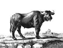 Buffalo. Vintage engraved illustration. Diderot and d'Alembert encyclopedia (1751-1780 Stock Photo