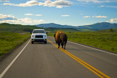 Buffalo vs Car Stock Photography