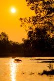 Buffalo walk across river Stock Photography
