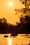 Buffalo walk across the river with silhouette Royalty Free Stock Image
