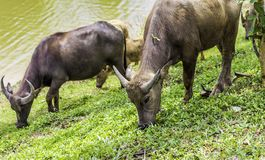 Buffalo walk eating grass in field. Buffalo portrait. Asian buffalo in farm in thailand .Close up. royalty free stock image