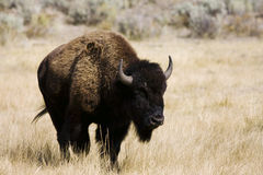 Buffalo Walking. Buffalo on the move to feed at a new spot in yellowstone Stock Photography