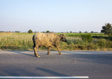 Buffalo walking along a street in india Stock Images