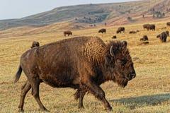 Buffalo walking in a Custer Park landscape. Black Hills, South Dakota royalty free stock images