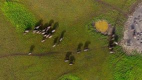 Buffalo walking grassland stock video footage