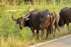Buffalo walking on the road Stock Images