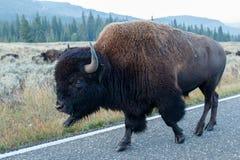 Buffalo walking on the road Stock Photography