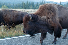Buffalo walking on the road Royalty Free Stock Image