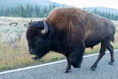 Buffalo walking on the road Stock Photos