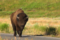 Buffalo walks along the road Royalty Free Stock Photography
