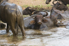 Buffalo. Wallowing in a mud Stock Images
