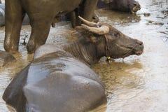 Buffalo. Wallowing in a mud Stock Photo