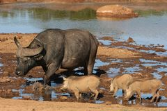 Buffalo and Warthogs Stock Photography