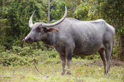 Buffalo. The buffalo was fed by farmer in country side of Thailand Stock Image