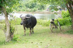 Buffalo was vehicle in the past, Bicycle are vehicle today Stock Photos