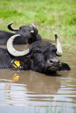 Buffalo in the water Royalty Free Stock Photos