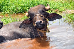 Buffalo in Water Stock Image