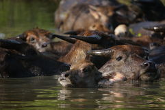 Buffalo in the water on a hot day. In Lombok, Indonesia Royalty Free Stock Photography