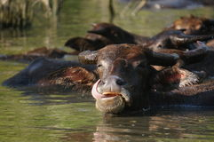 Buffalo in the water on a hot day. In Lombok, Indonesia Stock Photography