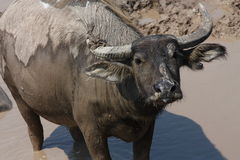 Water buffalo. A water buffalo is in the mud that see something Stock Images