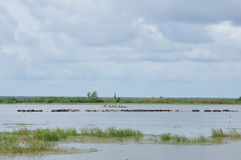 Buffalo on water at Thale Noi waterfowl reserve, Thailand Royalty Free Stock Images