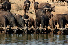 Buffalo Watering Royalty Free Stock Photo
