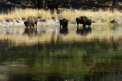 Buffalo at the watering hole. Buffalo in Yellowstone National Park drinking out of the river Stock Images
