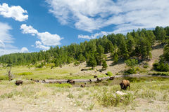 Buffalo at a Watering Hole Royalty Free Stock Photo