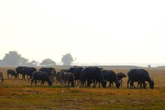 Buffalo and wetlands that nourish life stock photo