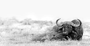 Buffalo. Wild African buffalo in black and white Stock Photo