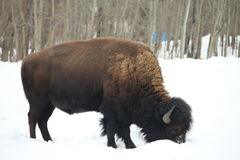 Buffalo in the Wild. Grazing on grass through the snow royalty free stock image