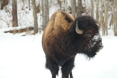 Buffalo in the Wild. Buffalo grazing in the snow looking for food stock photo