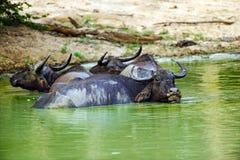 Buffalo in the wild Royalty Free Stock Photos