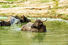 Buffalo in the wild Royalty Free Stock Image