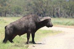 Buffalo. Wild Buffalo in Masai Mara national park Royalty Free Stock Image