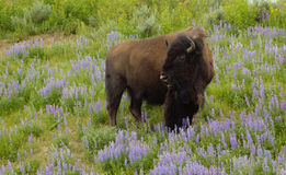 Buffalo in the wildflowers Royalty Free Stock Images