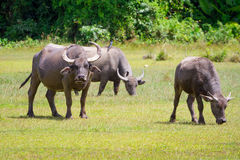 Buffalo in wildlife, Thailand stock images