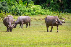 Buffalo in wildlife, Thailand Royalty Free Stock Photo