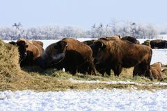 Buffalo in Winter Royalty Free Stock Photography