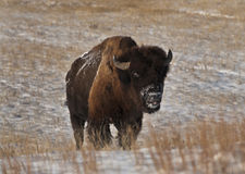 Buffalo in Winter Stock Photography
