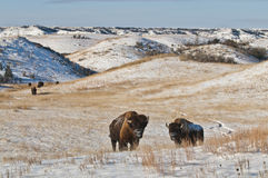 Buffalo in Winter. Buffalo in Theodore Roosevelt National Park Royalty Free Stock Photography