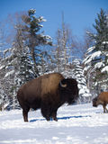 Buffalo in winter Royalty Free Stock Photos