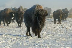 Buffalo in Winter Fog. An American Buffalo leaves his herd and emerges from a winter fog Stock Photography