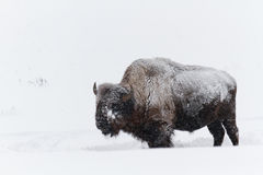 Buffalo in Winter Royalty Free Stock Image