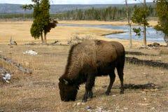 Buffalo in Yellowstone Fotografia Stock