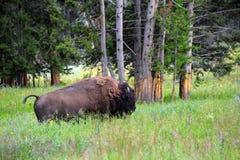 Buffalo in Yellowstone Royalty Free Stock Photography