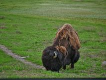 Buffalo in Yellowstone National Park. Grazing near road in meadow stock image