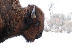 Buffalo in Yellowstone National Park. Buffalo walking through snowy background Stock Images