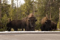 Buffalo in Yellowstone National Park, Wyoming Stock Photo